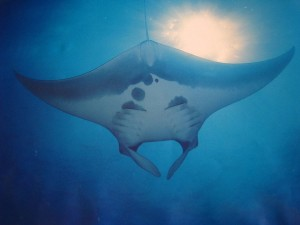 Manta Ray on Koh Bon