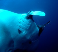 Manta Ray at Koh Tachai in the Similan Islands