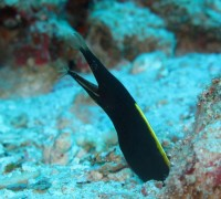 Juvenile Ribbon Eel on West of Eden