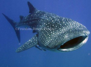 Whale Shark in the Similan Islands