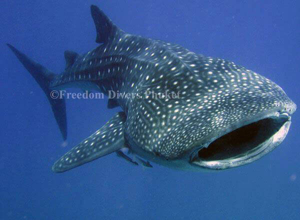 The time I almost kissed a Whale Shark