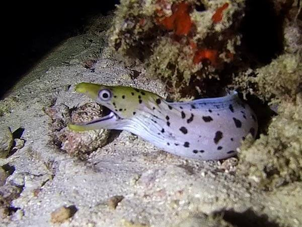 Fimbriated Moray spotted on Scuba Explorer sunset dive