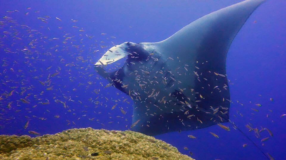 Same Dive, 1 Whale Shark and 1 Manta Ray