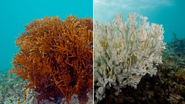 Healthy Coral Vs Bleached Coral Effects Of Suncream With Oxybenzone